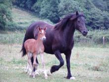 Picture of Coed Newydd Lucky Lady & foal